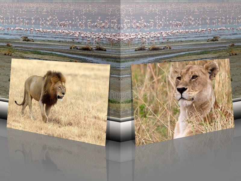 Afrikanischer Löwe und Löwin Panthera Löwe mit afrikanischer Landschaft lizenzfreies stockbild