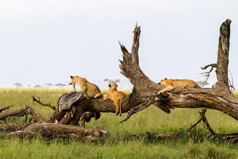 Afrikanischer Löwejunge Ostpanthera Löwe auf einem Baumstamm stockfoto