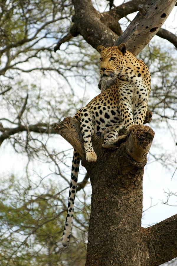 Afrikanischer Leopard stockfotos