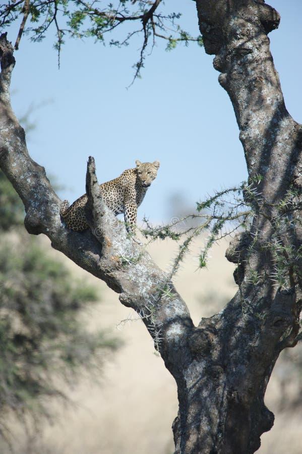 Afrikanischer Leopard lizenzfreie stockfotografie