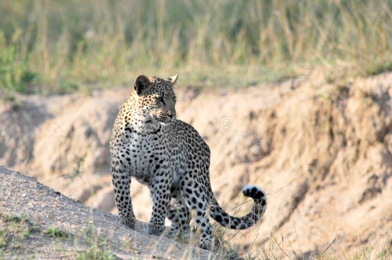 Afrikanischer Leopard stockbild