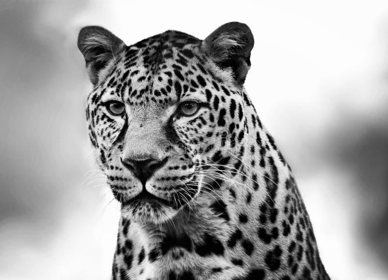 Afrikanischer Leopard stockfoto
