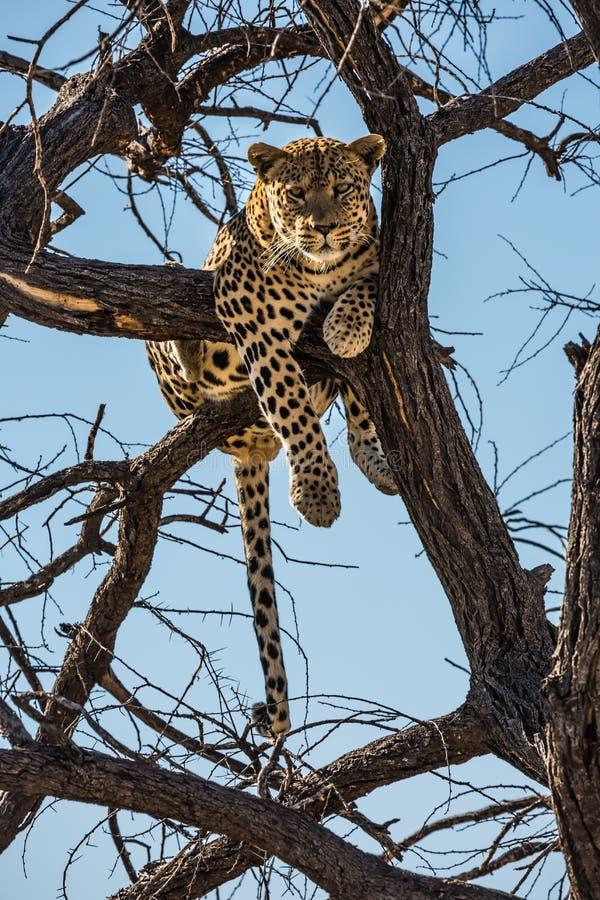 Afrikanischer Leopard nach der Fütterung lizenzfreie stockfotografie
