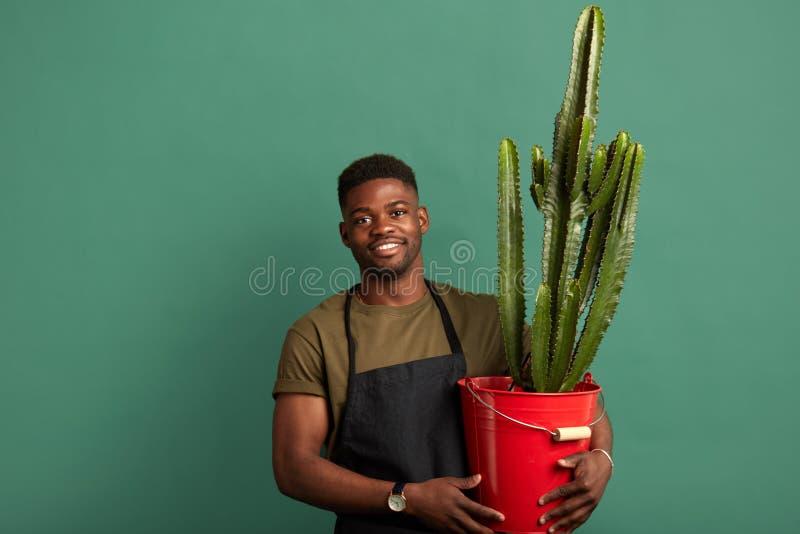 Afrikanischer m?nnlicher Florist im Schutzblech, das mit einem gro?en Kaktus gepflanzt im roten Eimer steht lizenzfreies stockbild