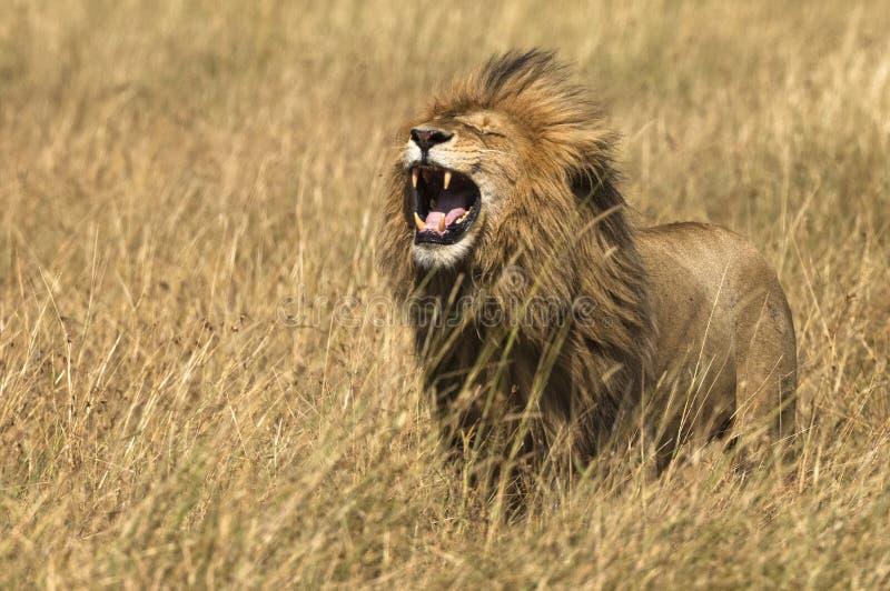 Afrikanischer Ostlöwe u. x28; Pantheralöwe-nubica& x29; stockfotografie