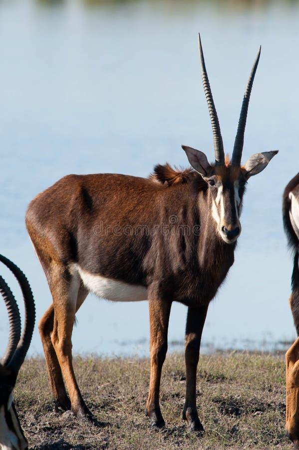 Afrikanischer Ostoryx stockfoto