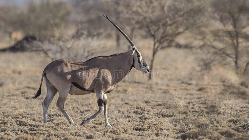 Afrikanischer Ostoryx auf dem trockenen Gebiet lizenzfreie stockfotografie