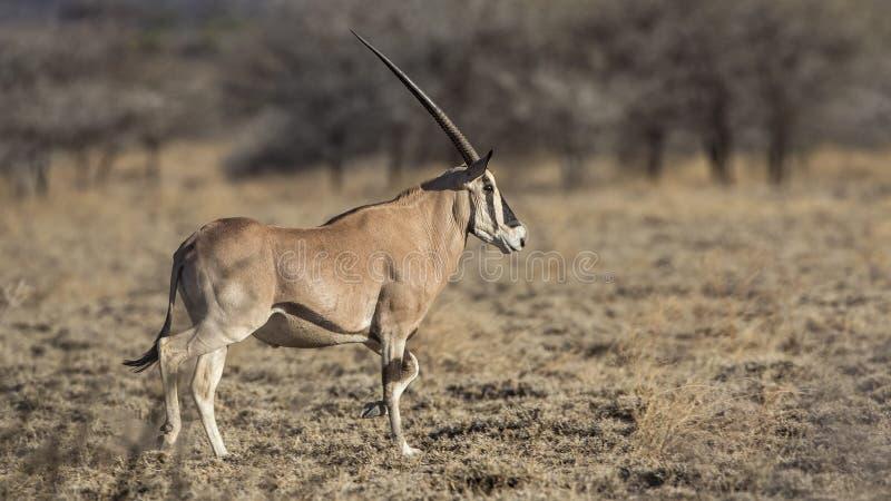 Afrikanischer Ostoryx in der trockenen Ebene stockbild