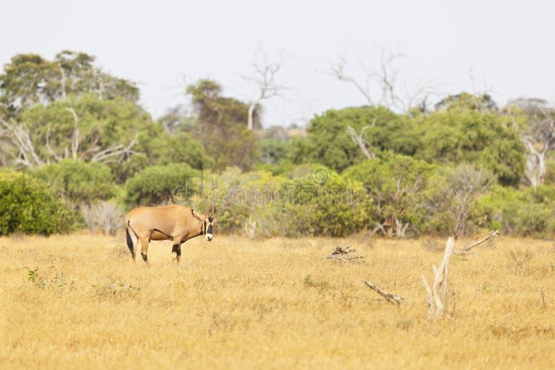 Afrikanischer Ostoryx, Kenia lizenzfreie stockbilder
