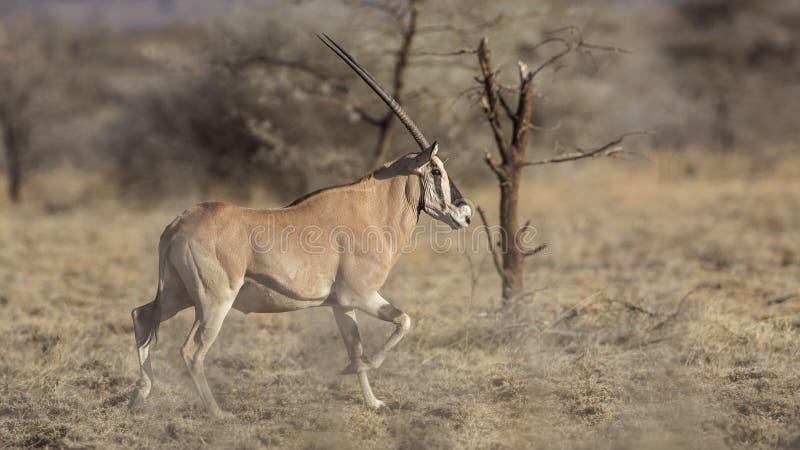 Afrikanischer Ostoryx laufend lizenzfreie stockbilder