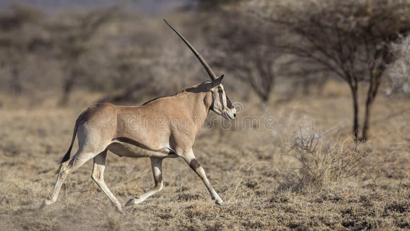 Afrikanischer Ostoryx-laufendes Recht stockfotos