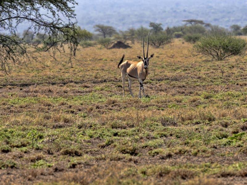Afrikanischer Ostoryx, Oryx Gazella beisa, unter Wasser Nationalpark, Äthiopien lizenzfreie stockfotografie