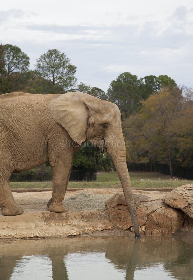 Afrikanischer Savanneelefant stockfotografie