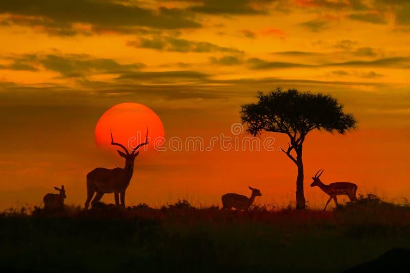 Afrikanischer Sonnenuntergang mit Schattenbild stockbilder