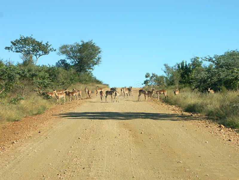 Afrikanischer Stau stockfotos