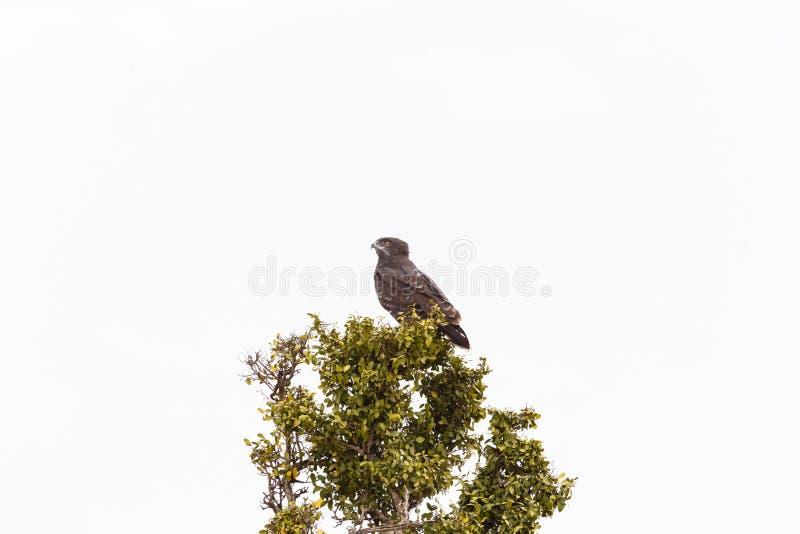 Afrikanischer Steppenadler auf dem Baum Masai Mara, Kenia lizenzfreie stockfotos
