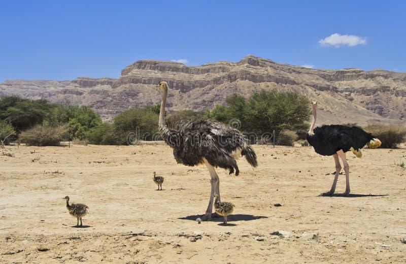 Afrikanischer Strauß mit Küken, Israel lizenzfreie stockfotos
