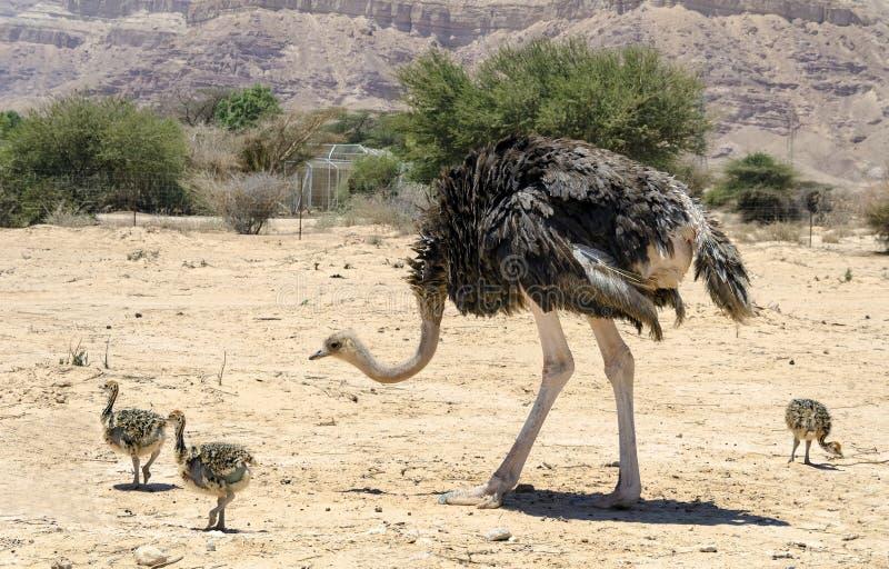 Afrikanischer Strauß Struthio Camelus lizenzfreies stockbild