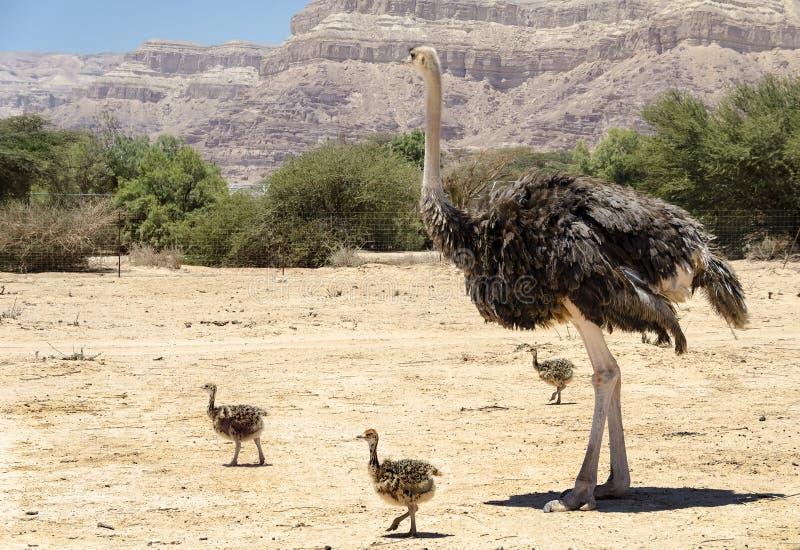 Afrikanischer Strauß Struthio Camelus lizenzfreie stockfotos