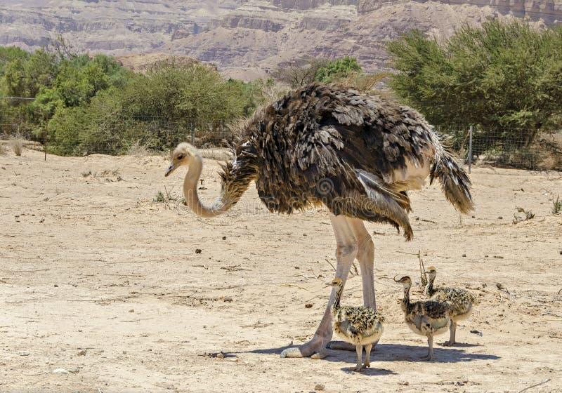Afrikanischer Strauß Struthio Camelus stockfotografie