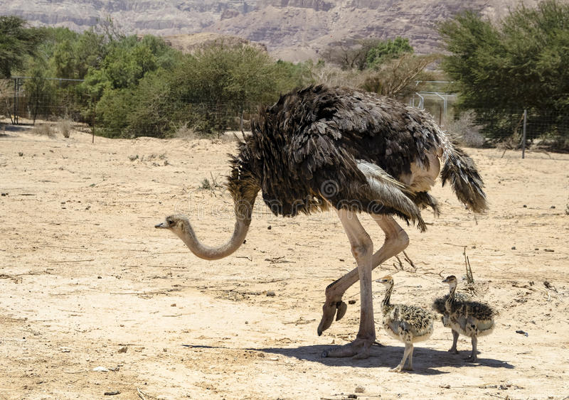 Afrikanischer Strauß Struthio Camelus stockbilder