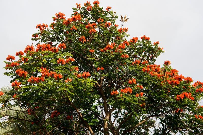 Afrikanischer Tulpebaum lizenzfreie stockfotografie