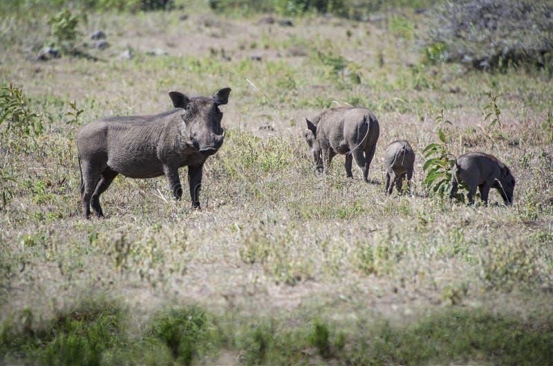 Afrikanischer Warzenschweinfamilieneber mit den Stoßzähnen, Frau und Babys in Tansania, Afrika lizenzfreie stockbilder