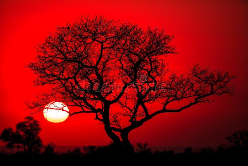 Afrikanischer Weihnachtsbaum stockbilder