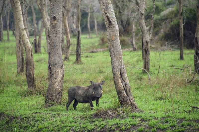 Afrikanischer wilder Eber lizenzfreies stockfoto