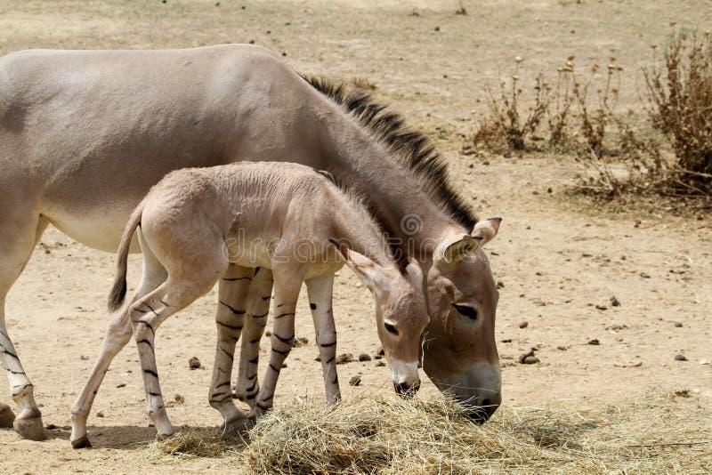 Afrikanischer wilder Esel mit Jungen stockbild
