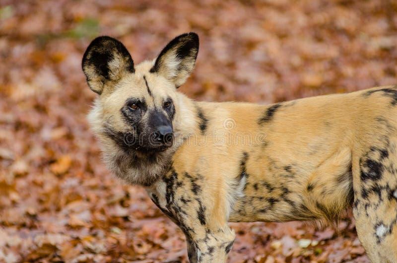 Afrikanischer wilder Hund stockfoto