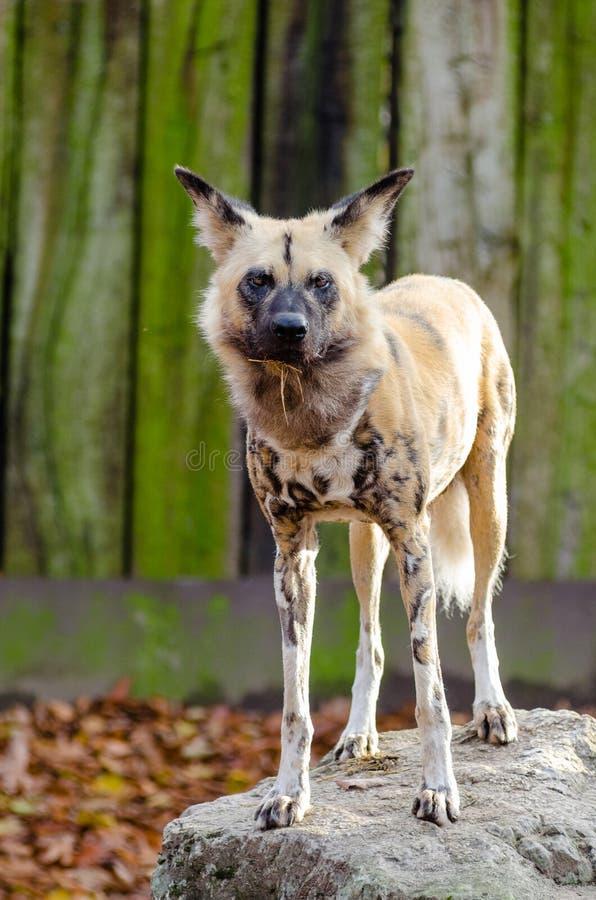 Afrikanischer wilder Hund lizenzfreies stockfoto