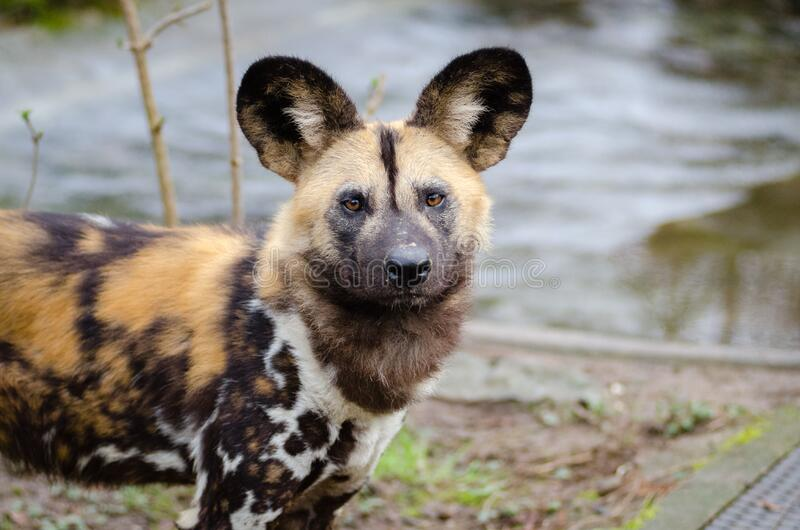 Afrikanischer wilder Hund lizenzfreie stockbilder
