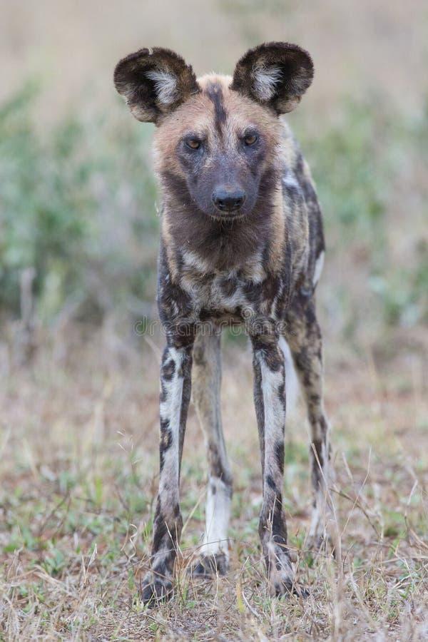 Afrikanischer wilder Hund auf Jagd stockbilder