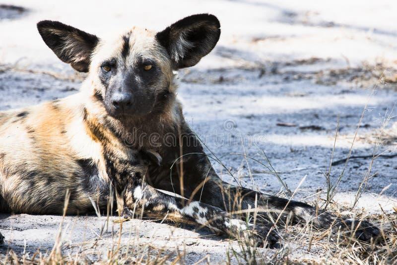 Afrikanischer wilder Hund - kritisch endangere stockbild
