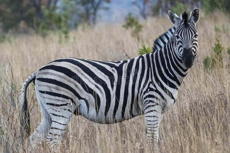 Afrikanischer Zebra lizenzfreies stockbild