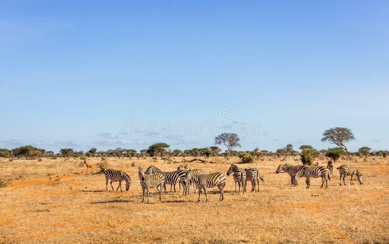 Afrikanischer Zebras in Kenia lizenzfreie stockbilder