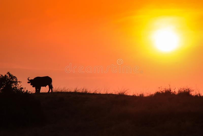 Afrikanisches Bisonschattenbild steht gegen einen schönen orange Sonnenuntergang allein lizenzfreie stockfotografie