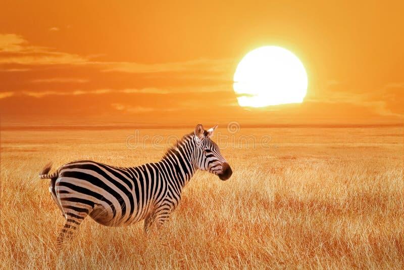 Afrikanisches einsames Zebra bei Sonnenuntergang im Nationalpark Serengeti tanzania Wilde Beschaffenheit von Afrika stockfoto