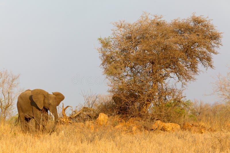 Afrikanisches Elefantenkalb lizenzfreie stockfotos