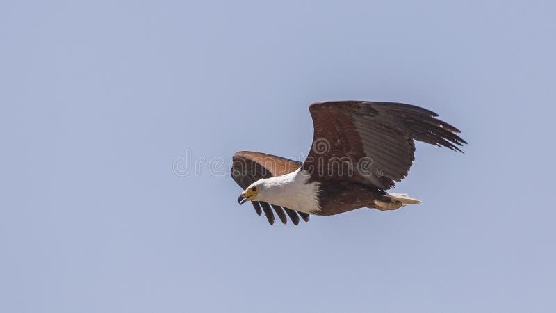 Afrikanisches Fischadlerflugwesen lizenzfreies stockfoto