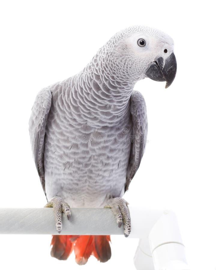 Afrikanisches Grau-Papagei