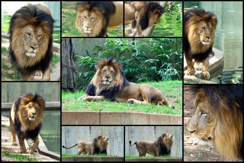Afrikanisches Löwe-Collagen-Set Lizenzfreies Stockfoto