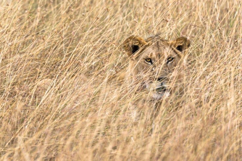 Afrikanisches Löwe Panthera-Löwe-Ostnubica stockbild