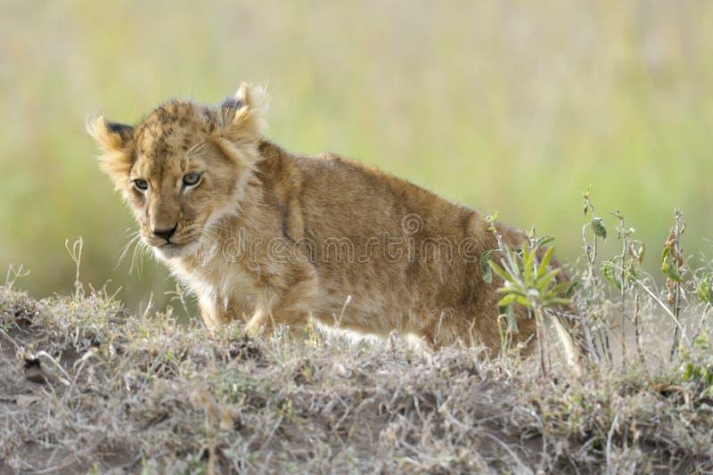 Afrikanisches Löwejunges stockbild