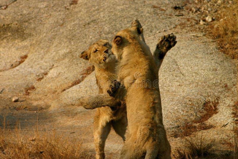 Afrikanisches Löwejungspielen lizenzfreies stockbild