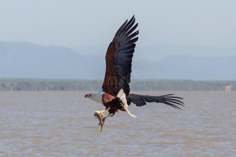 Afrikanisches Meer Eagle, Kenia, Afrika stockfoto