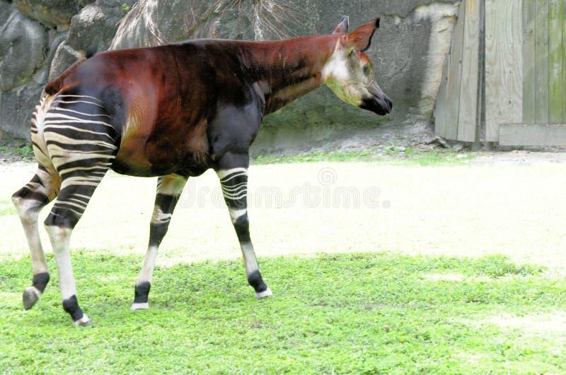 Afrikanisches Okapigehen stockbild