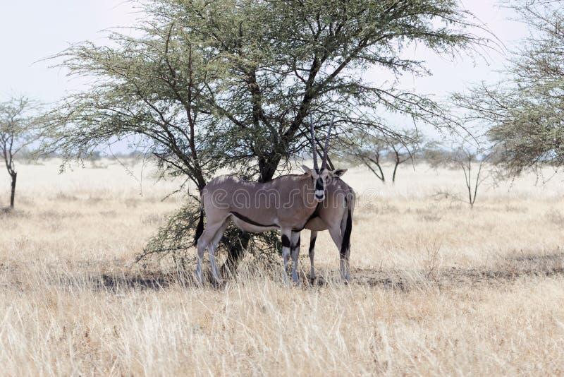 Afrikanisches Oryx Oryx Ostbeisa stockfoto