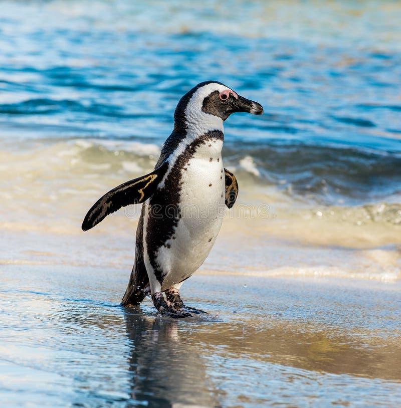 Afrikanisches Pinguin Spheniscus demersus stockbilder
